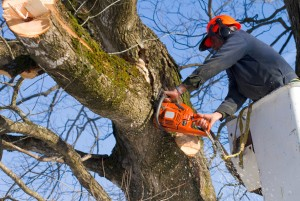 Tree Removal Adelaide – Allout Tree Removal Adelaide